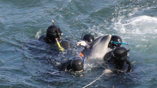 Horreur des dauphins capturés
