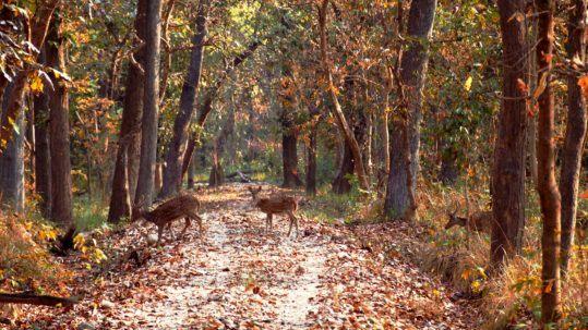 Cerfs traversant la foret - Bardia (Nepal)