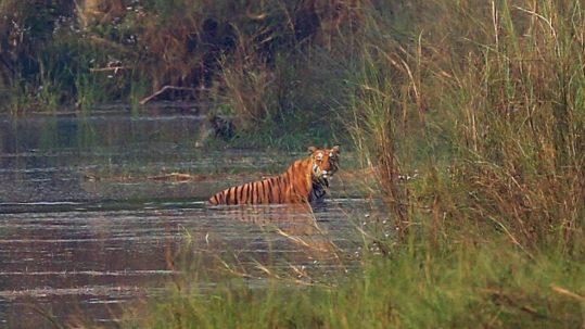 Quand le tigre se montre