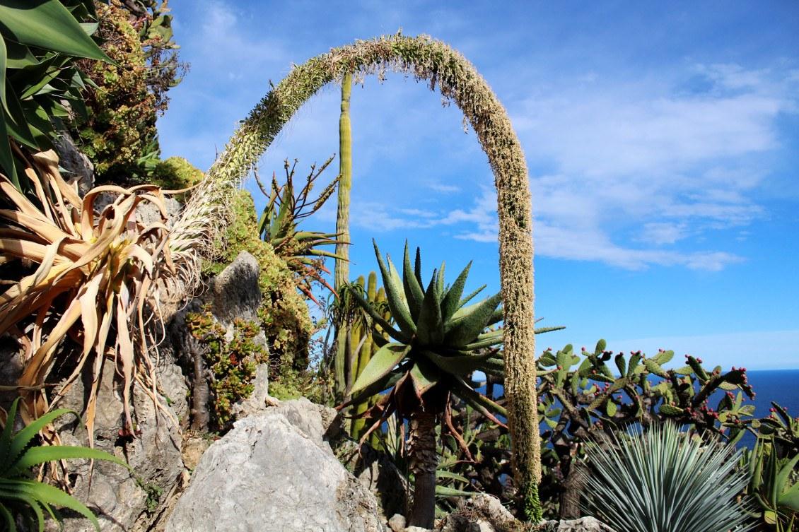 Succulents dans le jardin exotique de Monaco