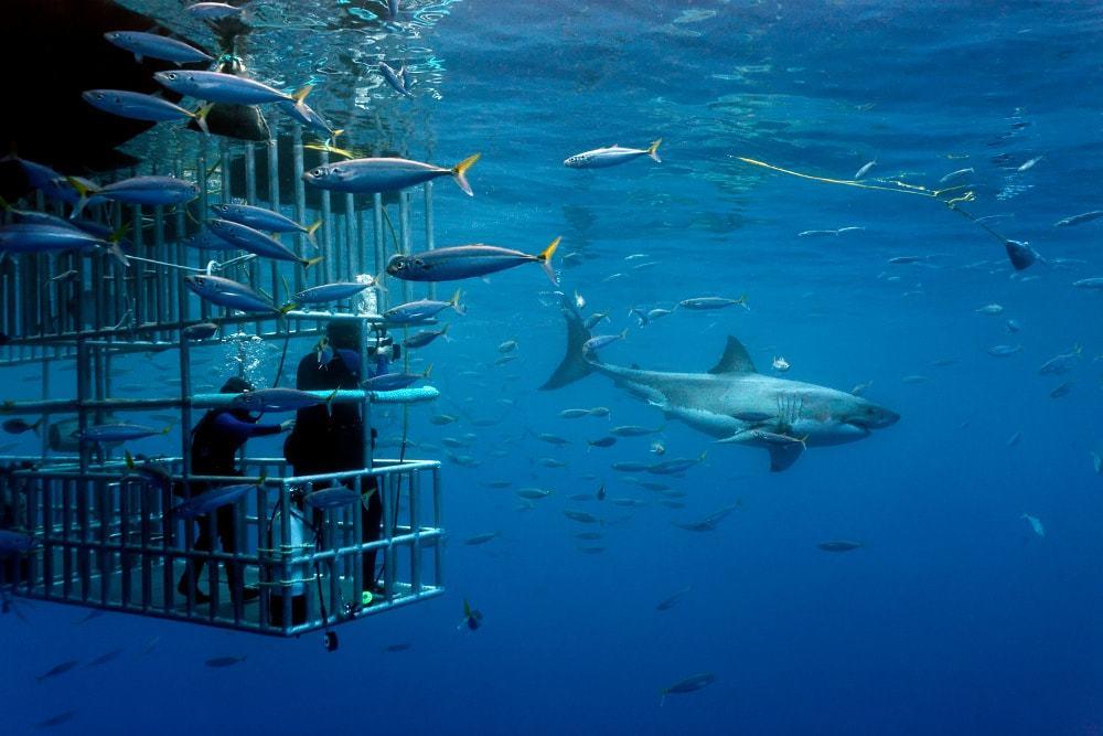 Plonger avec le grand requin blanc