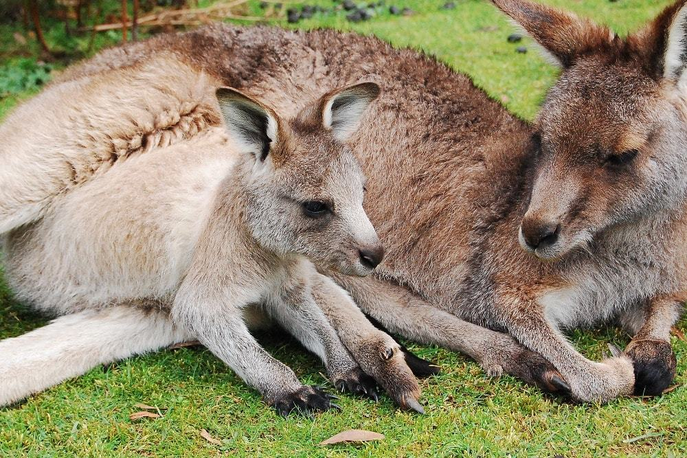 Faire du bénévolat avec des kangourous
