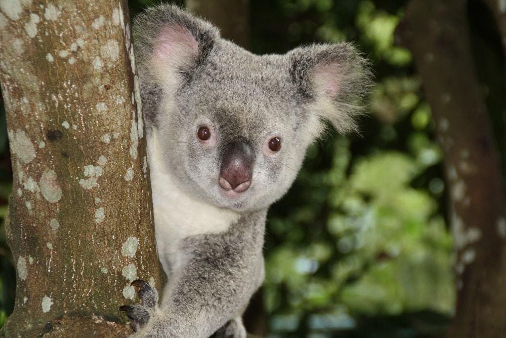 Rencontrer des koalas