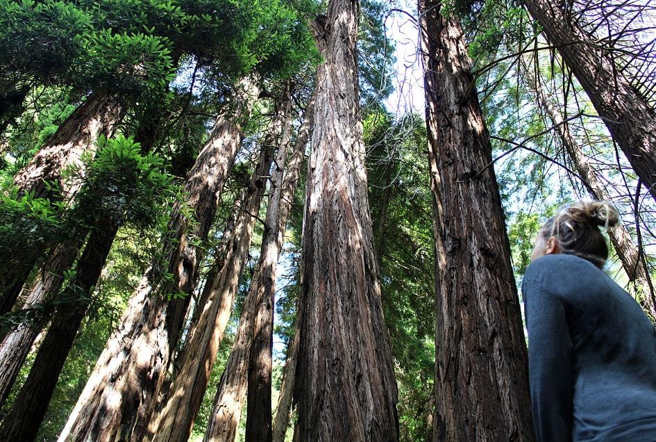 Forêt de Muir Wood à San Francisco_Californie