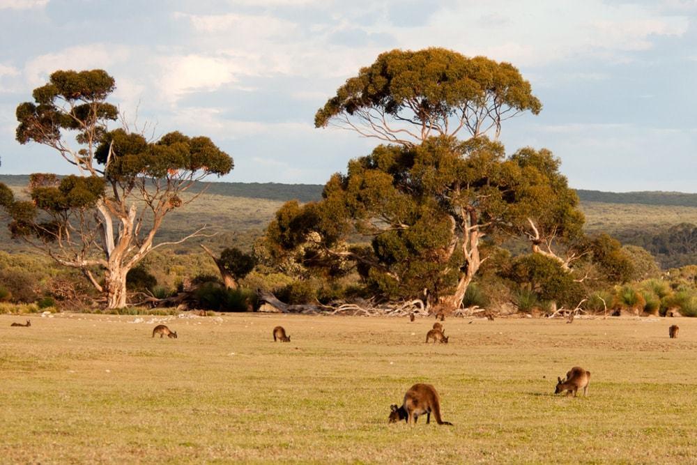 Rencontrer les kangourous sur Kangaroo island