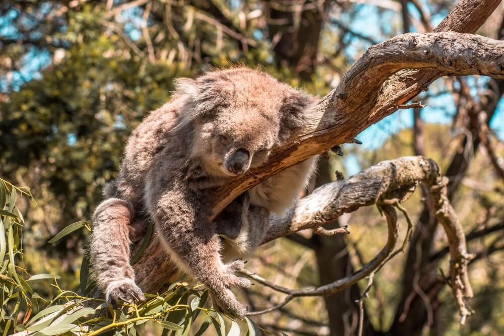 Road trip sur la Great Ocean Road Koala sauvage dans Kennett river
