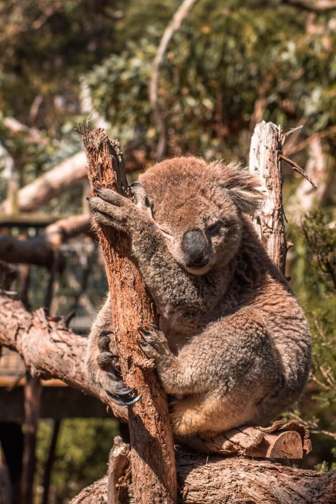Road trip sur la Great Ocean Road observer les koala dans la nature a Kennett river