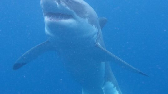 Plonger avec le grand requin blanc une aventure hors du commun